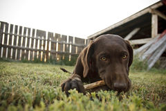 Chocolate lab. A chocolate lab chewing on a stick while laying in a grassy field Royalty Free Stock Photo