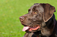 Chocolate lab Royalty Free Stock Photo