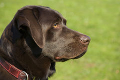 Chocolate lab Royalty Free Stock Photography