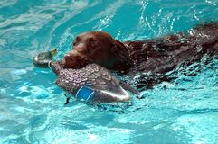 Chocolate Lab. Rador Retriever being trained with a decoy duck. Photographed at a local swimming pool Florida Stock Photography