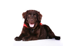 Chocolate Lab Royalty Free Stock Photos