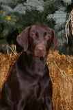 Chocolate Lab Stock Image