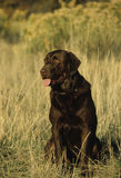 Chocolate Lab. A chocolate lab sits proudly in grass field Stock Photography