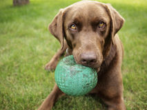 Chocolate Lab and Ball Stock Photos