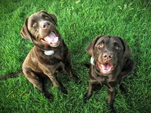 Chocolate lab best friends stock images