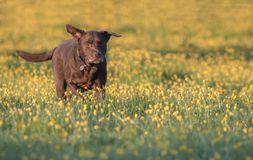 Chocolate lab in buttercups Royalty Free Stock Photos