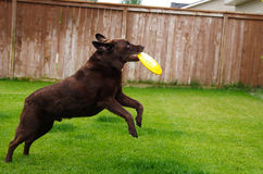 Chocolate Lab catches frisbee. Royalty Free Stock Image