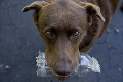Chocolate Lab with Chewed Up Bottle Stock Images