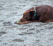 A chocolate lab chewing on his ball. Chocolate lab chewing on his ball royalty free stock photo