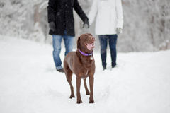 Chocolate lab with couple. Chocolate  lab with his toung  out in snow Royalty Free Stock Photos