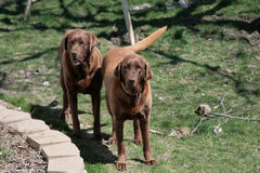 Chocolate_lab_dogs Stock Photos