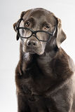 Chocolate Lab in Glasses Royalty Free Stock Photo