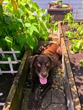 Chocolate Lab laying between raised garden beds during summer royalty free stock image