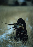 Chocolate Lab with Pheasant. A chocolate labrador sits proudly with pheasant after retrieve Stock Photography