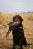 Chocolate Lab With Pheasant Royalty Free Stock Photography