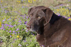 Chocolate Lab Portrait. A close up portrait of a senior chocolate lab in a field of wildflowers Royalty Free Stock Image