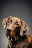Chocolate lab portrait Royalty Free Stock Photos
