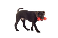 Chocolate lab pup with toy. Chocolate labrador puppy with red chew toy Royalty Free Stock Images