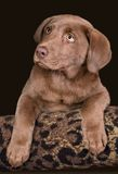 Chocolate lab puppy. A chocolate lab puppy is posing for a portrait Stock Image