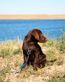 Chocolate Lab Puppy. Female purebred Chocolate Lab puppy on leash beside lake. Three months old royalty free stock images