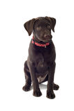 Chocolate Lab Puppy. Sitting male Chocolate Labrador puppy, isolated on a white background Stock Photography