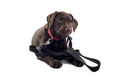 Chocolate lab puppy Stock Images
