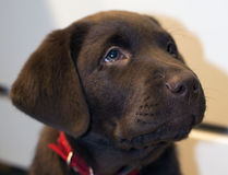 Chocolate Lab Puppy Royalty Free Stock Photo