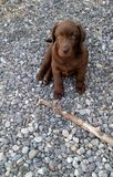 Chocolate lab puppy Stock Photos
