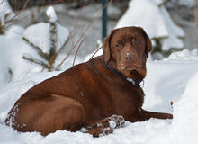 Chocolate Lab puppy lying in snow royalty free stock photography