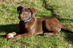 Chocolate lab puppy in the park. A Chocolate Labrador Retriever puppy in the park stock image