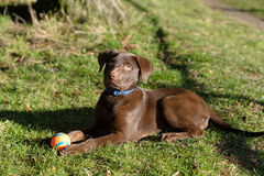 Chocolate lab puppy in the park. A Chocolate Labrador Retriever puppy in the park stock photos