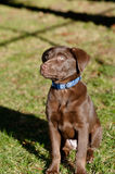 Chocolate lab puppy in the park. A Chocolate Labrador Retriever puppy in the park royalty free stock photo