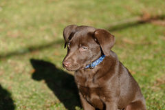 Chocolate lab puppy in the park. A Chocolate Labrador Retriever puppy in the park royalty free stock photography