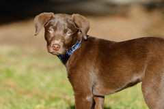 Chocolate lab puppy in the park. A chocolate Labrador Retriever puppy is in the park on a sunny day royalty free stock images