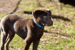 Chocolate lab puppy in the park. A chocolate Labrador Retriever puppy is in the park on a sunny day royalty free stock photos