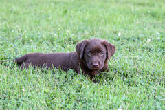 Chocolate Lab Puppy. Puppies are too cute for words royalty free stock photography