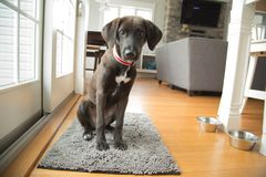 Chocolate lab puppy sitting stock images