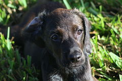 Chocolate Lab Puppy. Tired puppy resting in the grass after some play time royalty free stock photos