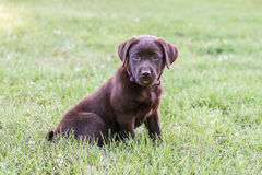 Chocolate Lab Puppy. This puppy was not sure what to think of the camera royalty free stock photography