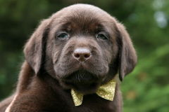 Chocolate Lab Puppy Wearing Bow Tie Stock Images