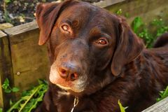 Chocolate Labrador watching photographer with gorgeous eyes while laying downd Royalty Free Stock Photo