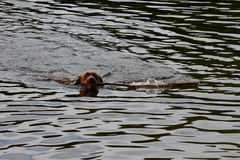 Chocolate lab retrieving stick royalty free stock images