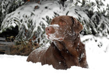 Chocolate Lab in the snow. A chocolate labrador taking a break from playing lies in the snow Royalty Free Stock Photography