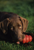 Chocolate Lab with toy. A chocolate labrador takes a break with toy Stock Image
