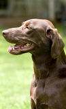 Labrador Chocolate Retriever dog Stock Photos