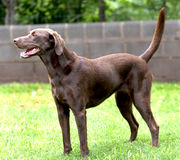 Isolated Labrador Chocolate Retriever dog Royalty Free Stock Images