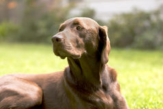 Isolated Chocolate Labrador Retriever dog on grass Stock Photos