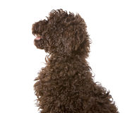 Chocolate Labradoodle Puppy Royalty Free Stock Image