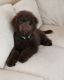 Chocolate labradoodle puppy dog lays on the couch looking up Stock Photo