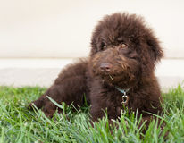Chocolate labradoodle puppy dog lays on the grass Royalty Free Stock Photo